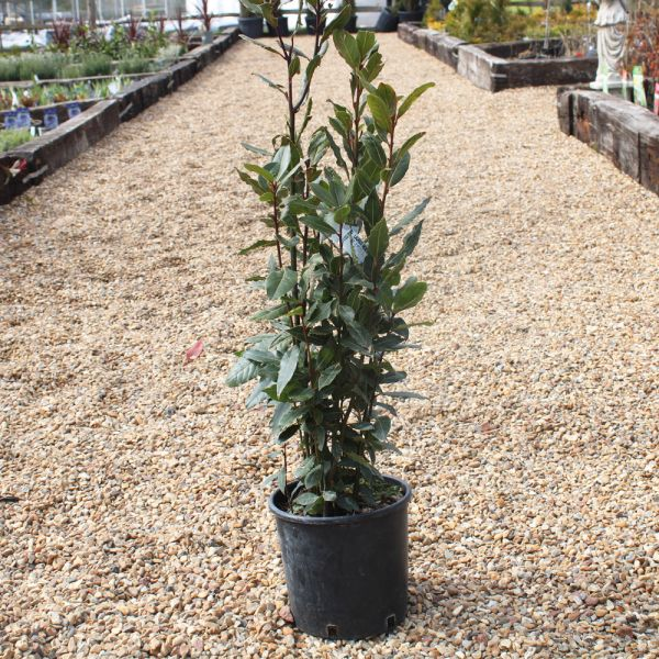 Bay Tree Mini Standard