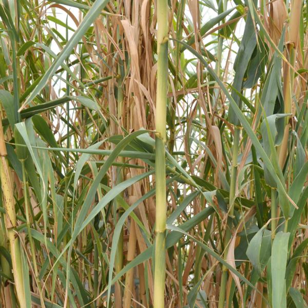 Bambusa Spectabilis
