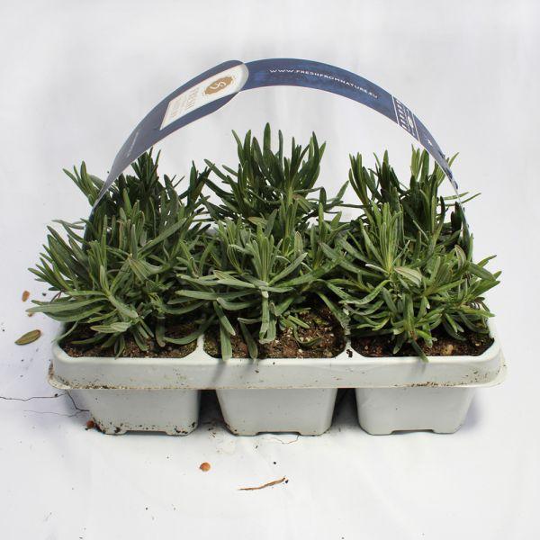 Lavender Angustifolia Grosso