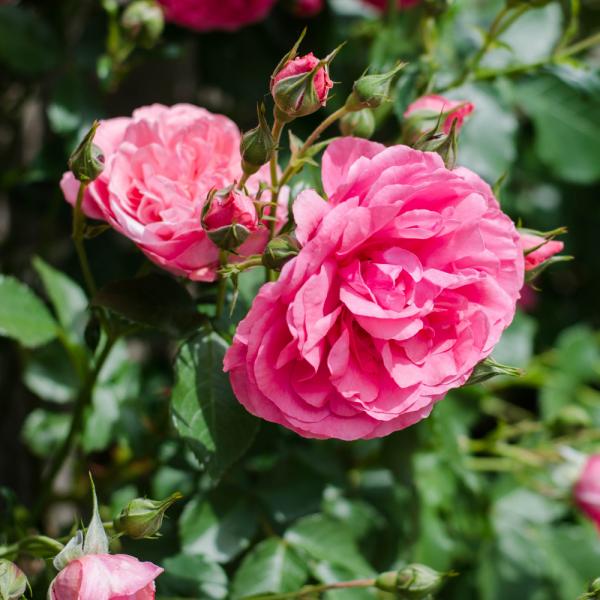 Tradtional Bush Rose