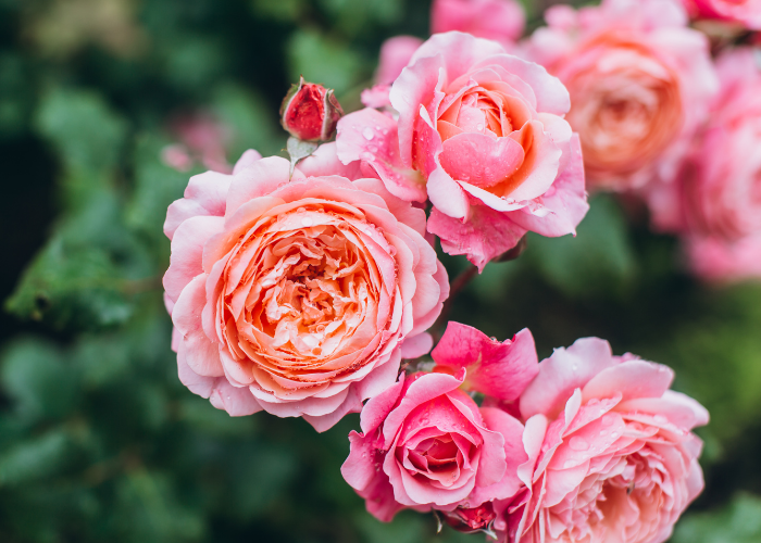 Caring for your Roses!